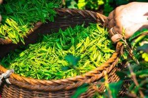 Билки за забременяване - Зелен чай